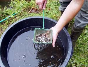 Sportfischerverein wolfsburg for Fischarten im teich
